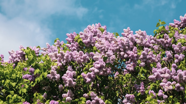 Blossoming branch of a purple lilac
