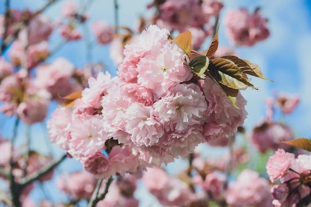 Цветущая ветка с распустившимися розовыми бутонами вишни или сакуры