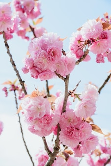 桜や桜の木のピンクの花のつぼみが咲く開花枝