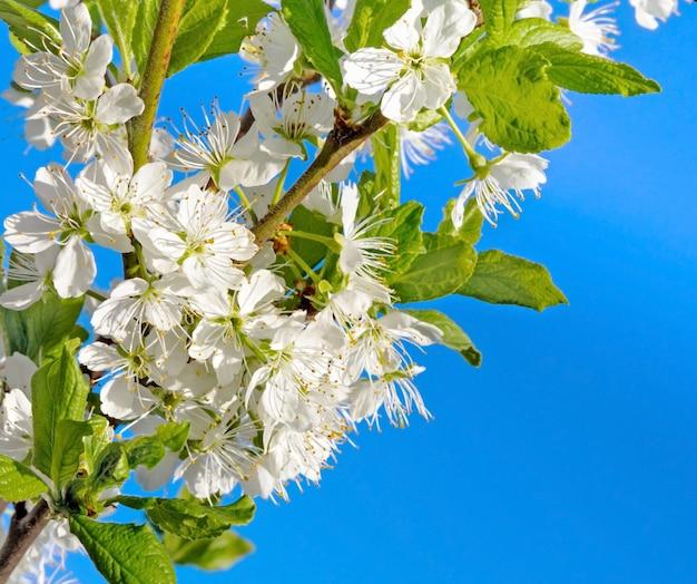 봄 날에 꽃이 만발한 가지