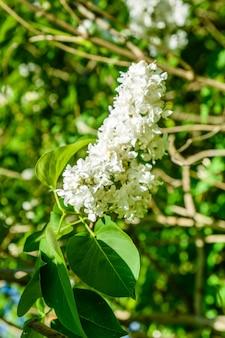 Цветущие ветви белой сирени весной