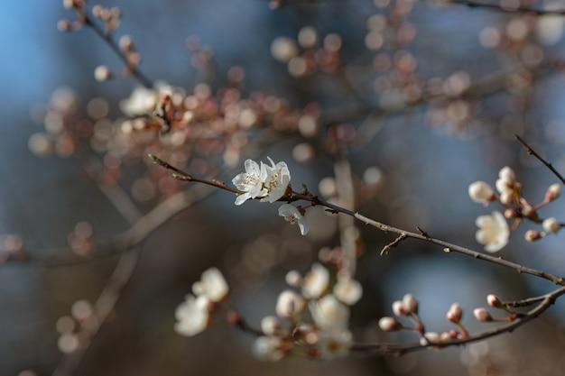 桜の花が咲く枝。咲く木。春、目覚め、健康のアイデアと概念