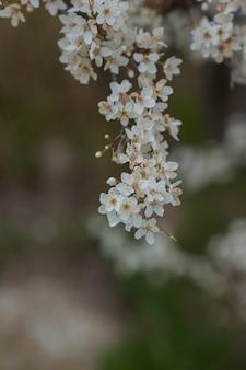 벚꽃 매화의 꽃이 만발한 지점. 피 나무입니다. 봄, 각성 및 건강의 아이디어와 개념