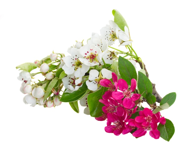 Blossoming brunch of white apple and pink cherry  tree flowers with green leaves against white background