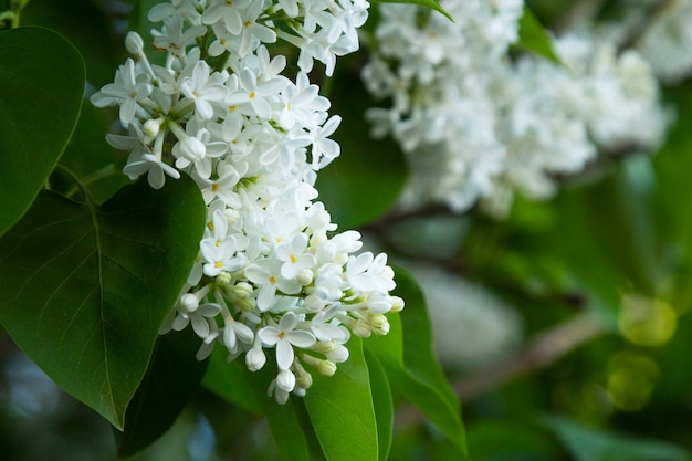 The blossoming bush white lilac a close up horizontally. the blossoming lilac in the sprin. syringa meyeri. oleaceae family.