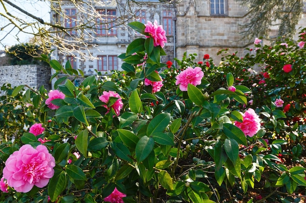 Blossoming camellia bush with pink flowers and thick leaves in spring