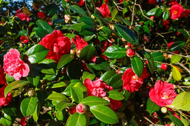 Blossoming camellia bush with red flowers and thick leaves in spring