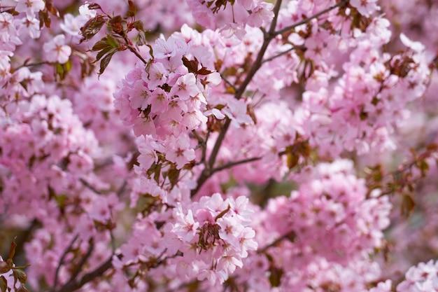 자연 봄 배경으로 꽃이 만발한 벚꽃.