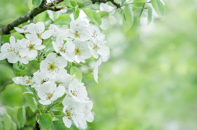 Blossoming cherry branch on a blurred background copy space