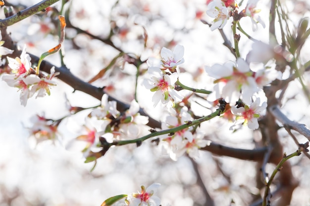 Blossoming of cherry flowers in winter time with green leaves
