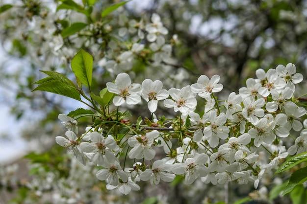 庭、選択と集中で春に咲く桜