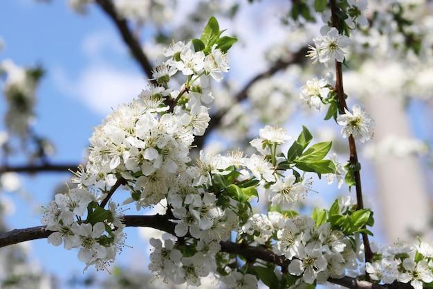 庭の春に咲く桜