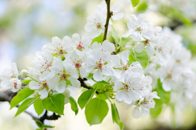 Blossoming cherry trees on a sunny spring day