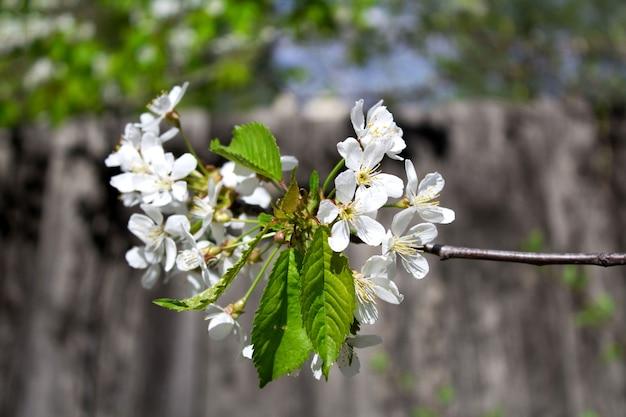Цветущая веточка сакуры в саду