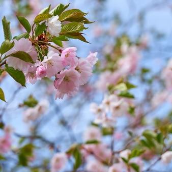 Цветущая вишня с размытыми деревьями и небом на заднем плане. скопируйте пространство.