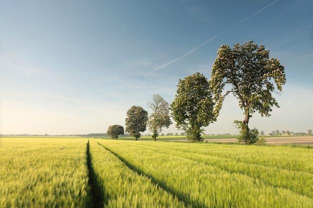 穀物畑に咲く栗の木