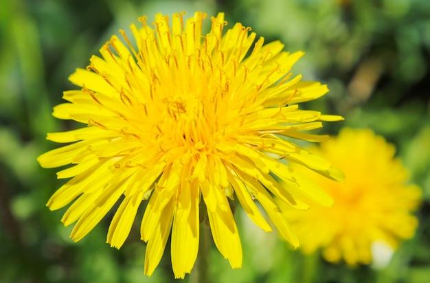 夏のクローズアップで牧草地に咲くタンポポ
