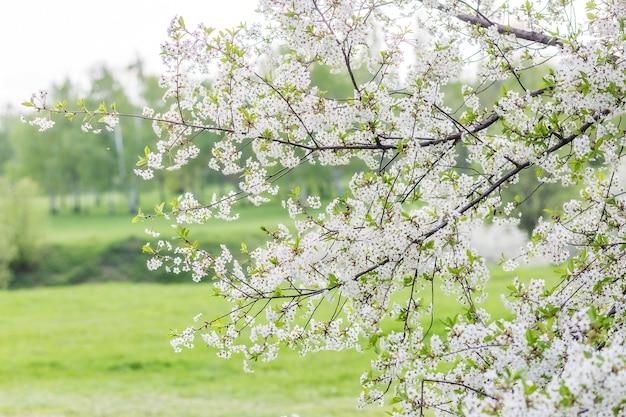 꽃이 만발한 장식 벚꽃 지점 꽃 봉 오리와 꽃, 전경, 흐린 배경, 선택적 초점에 초점.