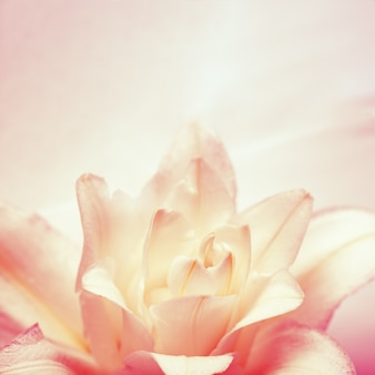 Цветущие нежные лепестки пионовидной лилии, красно-белые цветущие лилии и солнечный свет