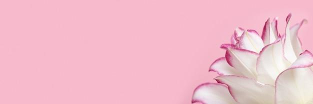 Цветущие нежные лепестки пионовидной лилии, белые цветущие лилии на розовом знамени и копией пространства.