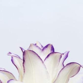 보라색 테두리 복사 공간 모란 백합 흰색 피는 백합 꽃의 꽃이 만발한 섬세한 꽃잎