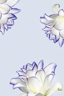 모란 백합의 꽃이 만발한 섬세한 꽃잎, 자주색 테두리가있는 흰색 피는 백합 꽃