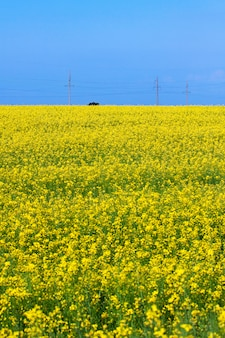 Blossoming field of canola