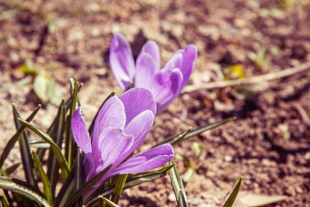 春の庭のクローズアップで開花する花のつぼみ