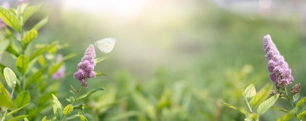 Цветущие цветы и белая бабочка на фоне летнего утра с солнечным светом. фиолетовые цветы, панорамный вид баннера.