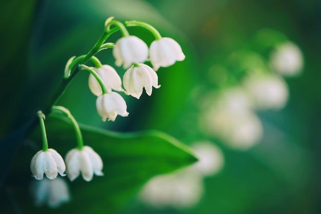 夏の庭のマクロ写真で日光に照らされた屋外のスズランの花が咲きます。