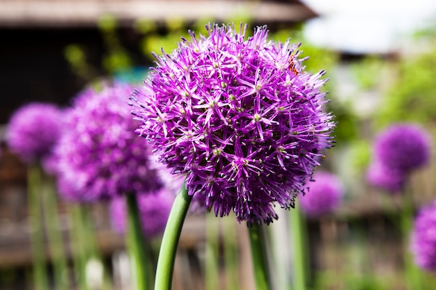 Цветущий чеснок в весенний сезон. выращивается для получения семян