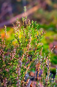 Blossoming heather in autumn forest