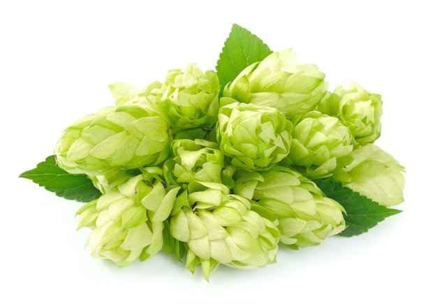 Цветущий хмель с листьями на белом фоне