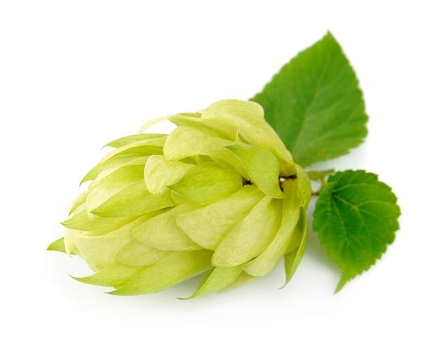 Цветущий хмель с листьями на белом фоне Premium Фотографии