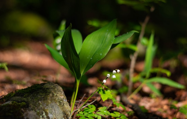Blossoming lilies of the valley in a sunny forest.