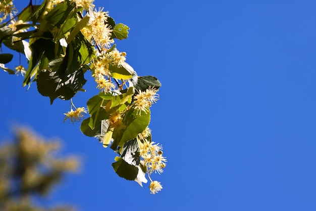 Blossoming linden branch