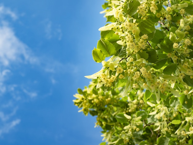 Blossoming linden trees on blue sky.