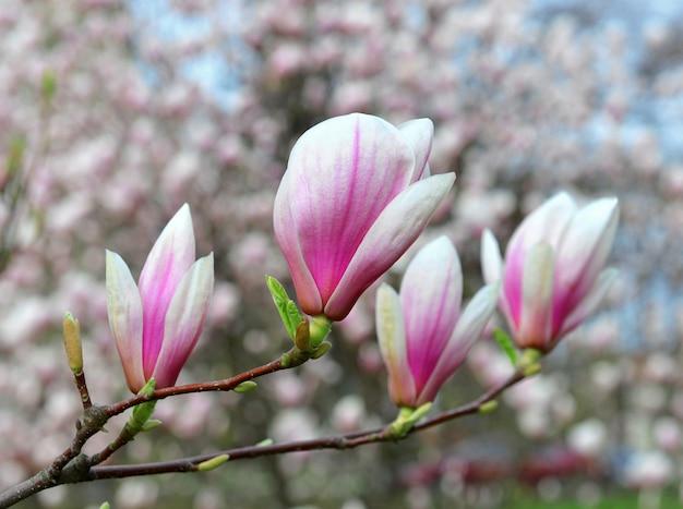 봄 시간에 꽃이 만발한 목련 꽃