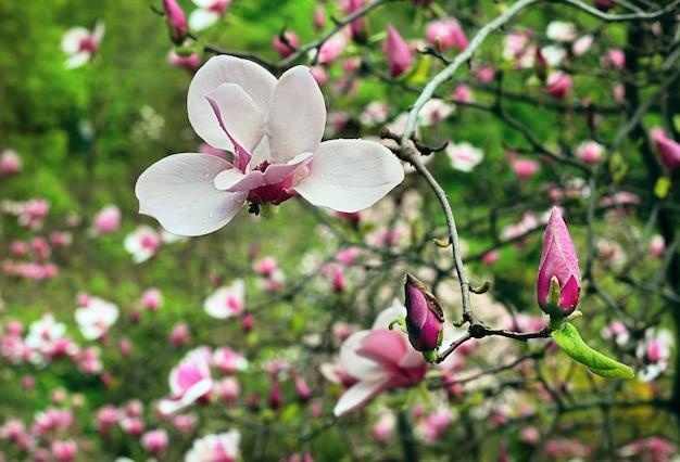 비 후 봄철에 새싹이있는 목련 꽃의 꽃
