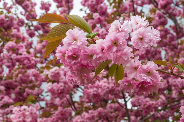 Blossoming orchard in the spring