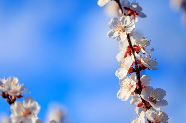 青い空を背景に開花桃。