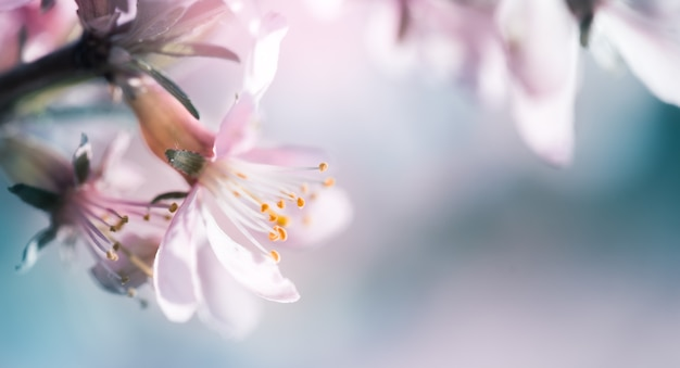 Blossoming pink almond on the branches. spring abstract background of flowering almond tree close-up