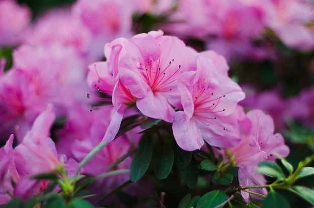 開花ピンクのツツジは庭でクローズアップ