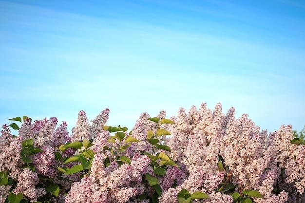 春に咲くピンクのライラック、ヘッジロー。