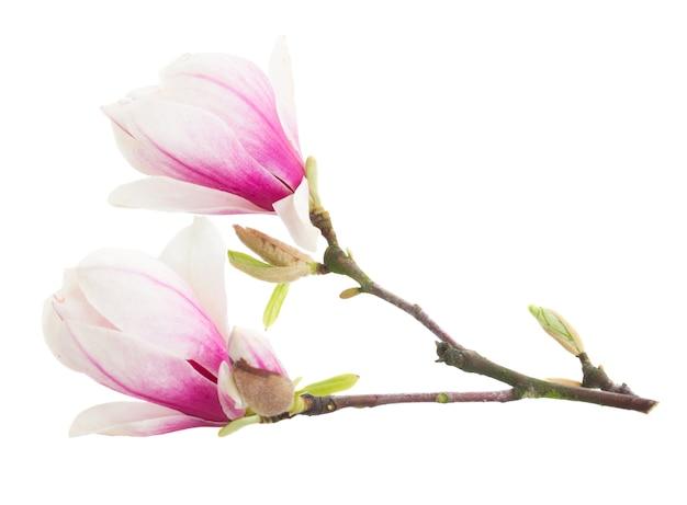 흰색 배경에 꽃이 만발한 분홍색 목련 나무 꽃