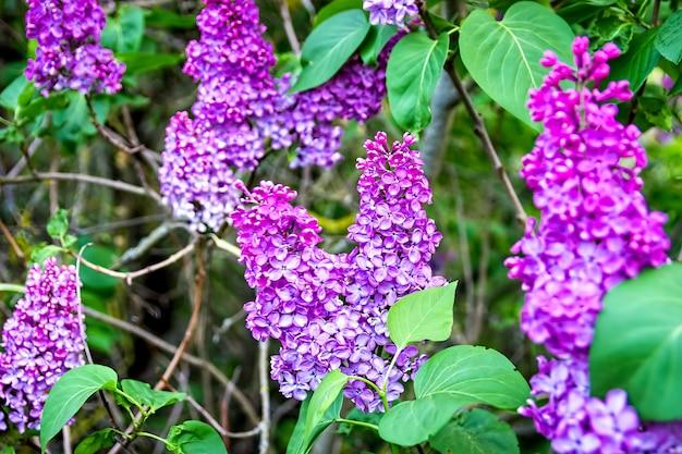 春に咲く紫色のライラック、生け垣。