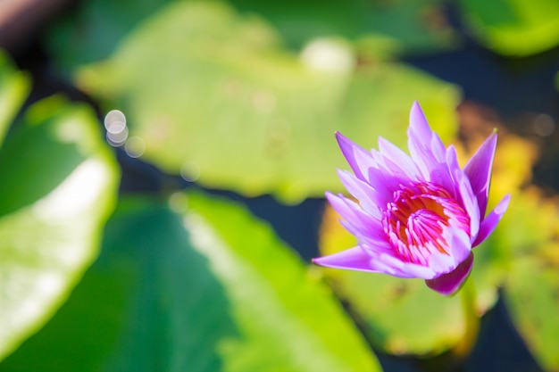 Blossoming purple water lily (lotus) flower in green pond background