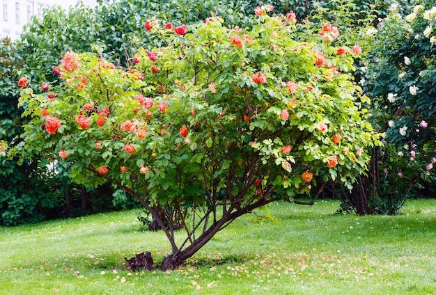 夏の公園で開花する赤と白のバラの茂み