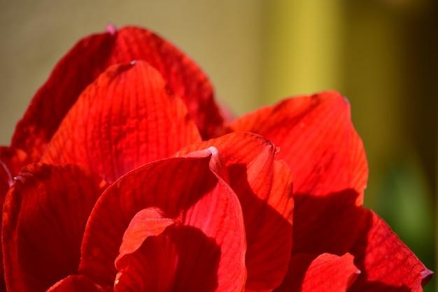 Цветущая красная нимфа амариллис с махровым цветком в саду на крыше.