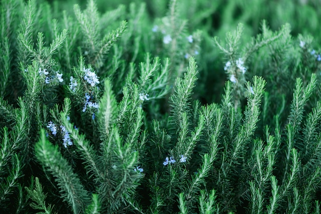Blossoming rosemary plants with flowers on green bokeh herb background. rosmarinus officinalis angustissimus benenden blue field.